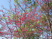 中橫之旅:日月潭附近的櫻花