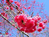 中橫之旅:日月潭附近的櫻花-1