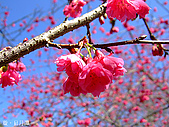 中橫之旅:日月潭附近的櫻花-3