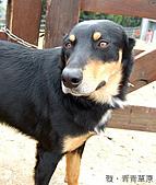 中橫之旅:青青草原的牧羊犬