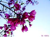 中橫之旅:塔塔加-櫻花