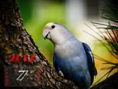 2012 小鸚月曆桌面:07-躍上枝頭